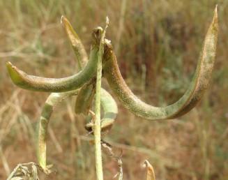הפרי דמוי טבעת  או בעל 1.5 פיתולים מרווחים, בעל שתי צלעות מחודדות ושקע ביניהן לאורך תפר הגב.