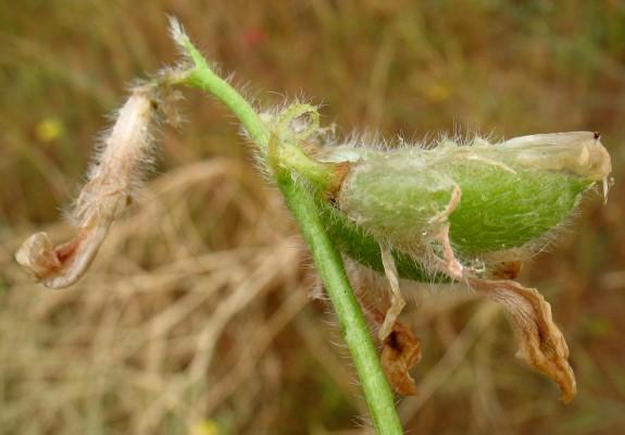 קדד באר-שבע Astragalus caprinus L.