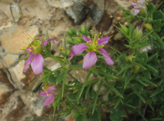 Fagonia mollis Delile