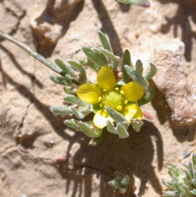 בר-נורית חרמשי Ceratocephala falcata (L.) Pers.