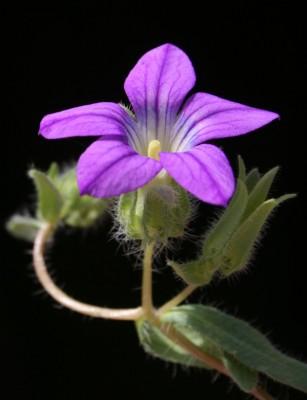פעמונית ירושלים Campanula hierosolymitana Boiss.