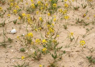 עשבים חד-שנתיים מדבריים, גובהם 20-10 ס