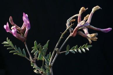 עוקץ התפרחת זקוף, אורכו כאורך העלים שסביבו או ארוך מהם.