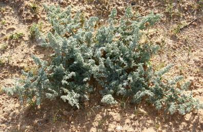 העלה גזור-מנוצה 4 פעמים, מתפתח בחורף גשום מעל שורש שיפודי עבה.