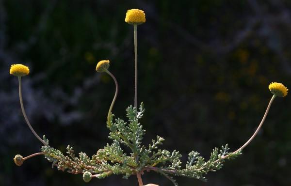 בבונגית אוזנית Tripleurospermum auriculatum (Boiss.) Rech.f.