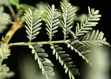 העלים, הגבעולים והקוצים קרחים. על ציר העלה יש אי-אלו בלוטות (כאן 3) בין זוגות הסעיפים.