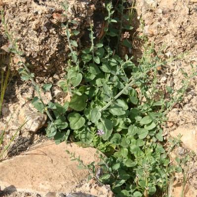 עפעפית אשונה Kickxia acerbiana (Boiss.) Taeckh. & Boulos