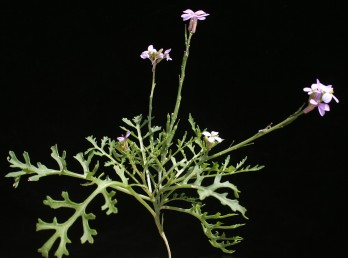 צמחי ערבות ומדבריות. עלי-הכותרת בצבע ורוד -ורוד כהה. המקור בעל 3-2 זרעים.