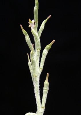 Erucaria rostrata (Boiss.) Greuter & Burdet
