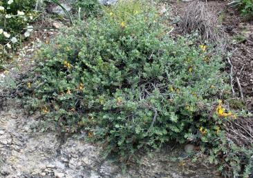 בני-שיח מכסיפים, מכוסים שערות הדוקות. גדלים בקרקעות רנדזינה על קרטון חווארי בצפון הארץ.
