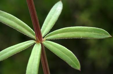 בסיס הצמח מעוצה, העלים צרים והעירוק אינו מנוצה. בשפת העלה ועל הגבעולים הצעיריםפ שיניים חדות המסייעות לטיפוס על עצי חורש.