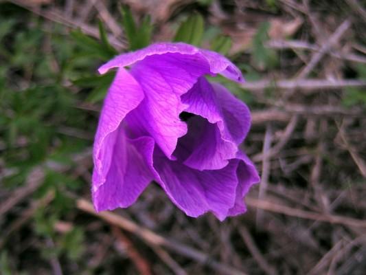 כלנית מצויה Anemone coronaria L.