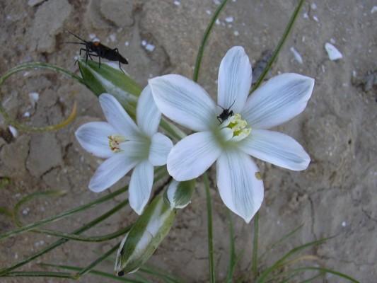 נץ-חלב דק-עלים Ornithogalum trichophyllum Boiss. & Heldr.