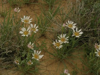 צבע הפרחים לבן-קרם עד ורוד (שונות רבה באוכלוסיות של הר הנגב הגבוה).