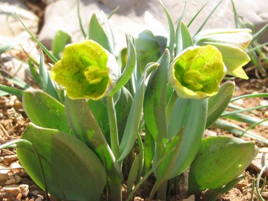 Fritillaria crassifolia Boiss. & A Huet var. hermonis (Fenzl) Boiss.