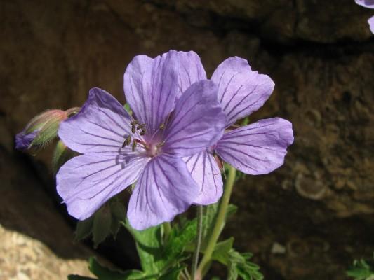 Geranium libani P.H.Davis