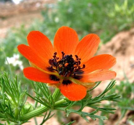 דמומית עבת-שיבולת Adonis aestivalis L.