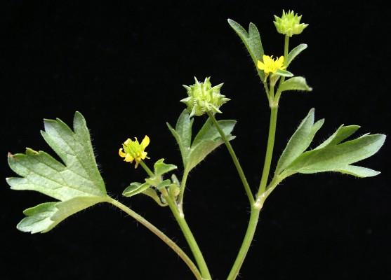 נורית הזיזים Ranunculus muricatus L.