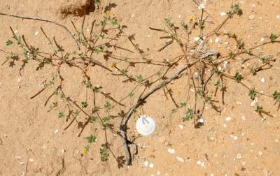 הפרחים נישאים על עוקץ דק מהגבעול שממנו הסתעף; על פי רוב אורך העוקץ כפול מאורך העלה ממנו יצא.