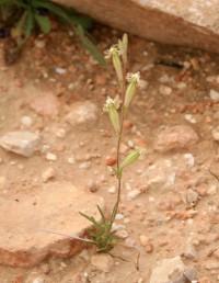 . צמחים שגובהם 30-10 ס