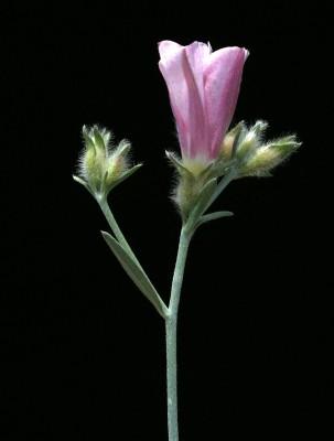 Convolvulus oleifolius Desr.