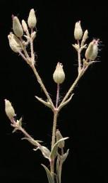 צמחים חד-שנתיים, שעירים ודביקים, נמוכים מ-20 ס