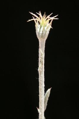 יורינאה טרשית Jurinea staehelinae (DC.) Boiss.