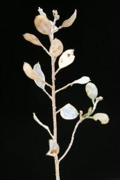 בכל מגורה 6-3 זרעים.