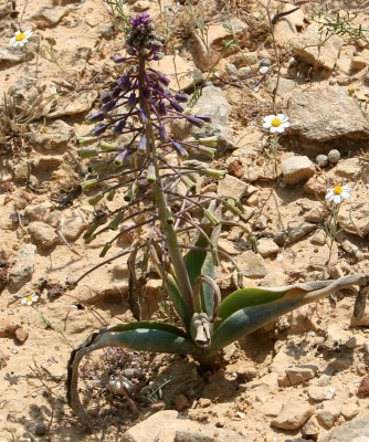 מצילות ארוכות-עוקץ Leopoldia longipes (Boiss.) Losnik.