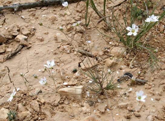 צללית נאה Minuartia picta (Sibth. & Sm.) Bornm.