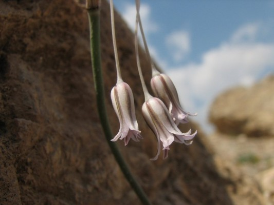 שום צנוע Allium desertorum Forssk.