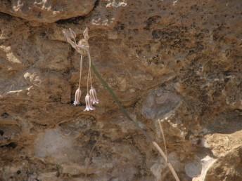 צמחי מדבר. העטיף דמוי צינור או כד, אורכו 7-6 (-8) מ