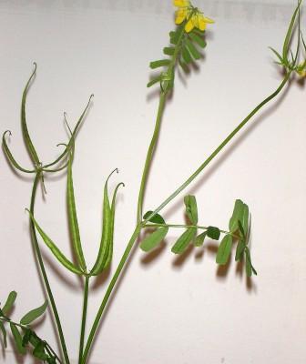 קרדומית השדה Securigera securidaca (L.) Degen & Doerfl.
