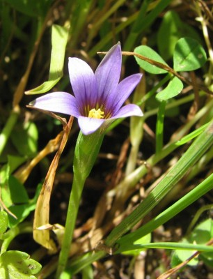 רומולאה זעירה Romulea columnae Sebastiani & Mauri