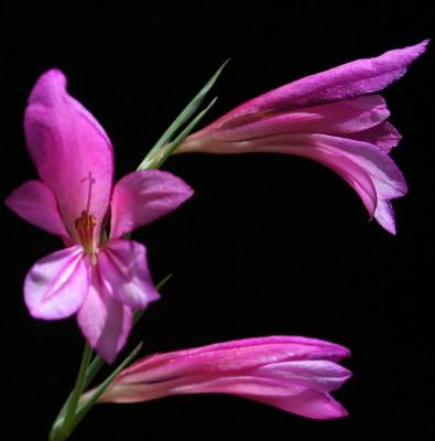 סייפן התבואה Gladiolus italicus Mill.
