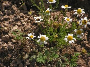 צמח חד-שנתי נדיר של קרקעות חוליות בשרון.
