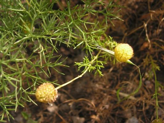 קחוון קצר-פירות Anthemis brachycarpa Eig