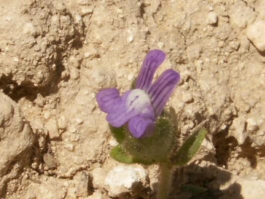 פומה פרסית Hueblia calycina (Banks & Sol.) Speta