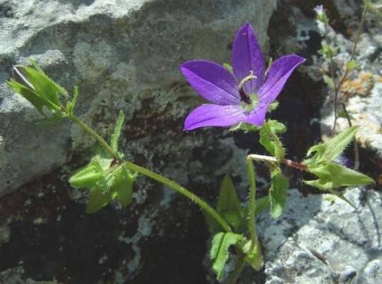 פעמונית כוכבנית Campanula stellaris Boiss.