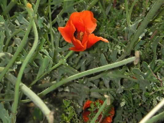 Glaucium corniculatum (L.) J.H.Rudolph