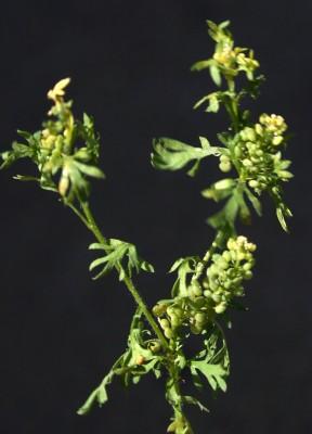 שחליל מכופל Coronopus didymus (L.) Sm.