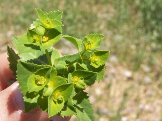 חלבלוב מרושת Euphorbia oxyodonta Boiss. & Hausskn. ex Boiss.