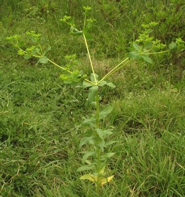 חלבלוב קטן-פרי Euphorbia microsphaera Boiss.