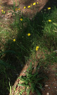 ניסנית כינורית Crepis reuteriana Boiss.