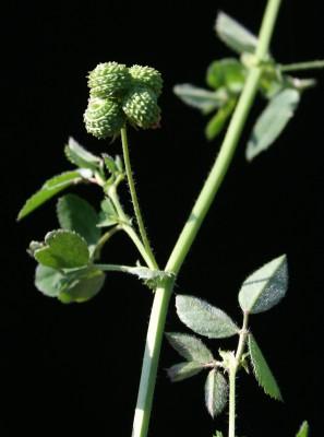 אספסת החבית Medicago tuberculata (Retz.) Willd.