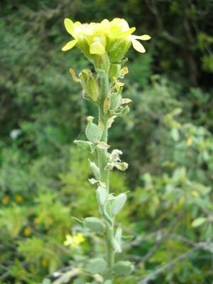 משקפיים שעירים Fibigia eriocarpa (DC.) Boiss.