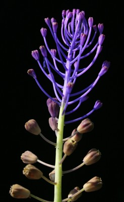 מצילות מצויצות Leopoldia comosa (L.) Parl.