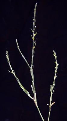 מתנן מצוי Thymelaea passerina (L.) Coss. & Germ.