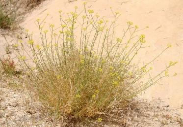 בני-שיח או עשבים רב-שנתיים שבסיסם מעוצה, גדלים בעיקר על קרקעות חוליות במדבר.