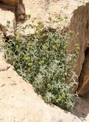 שלהבית המדבר Phlomis platystegia Post